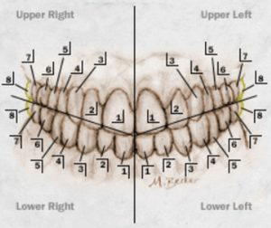 Tooth Numbering Systems