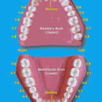 tooth numbering system